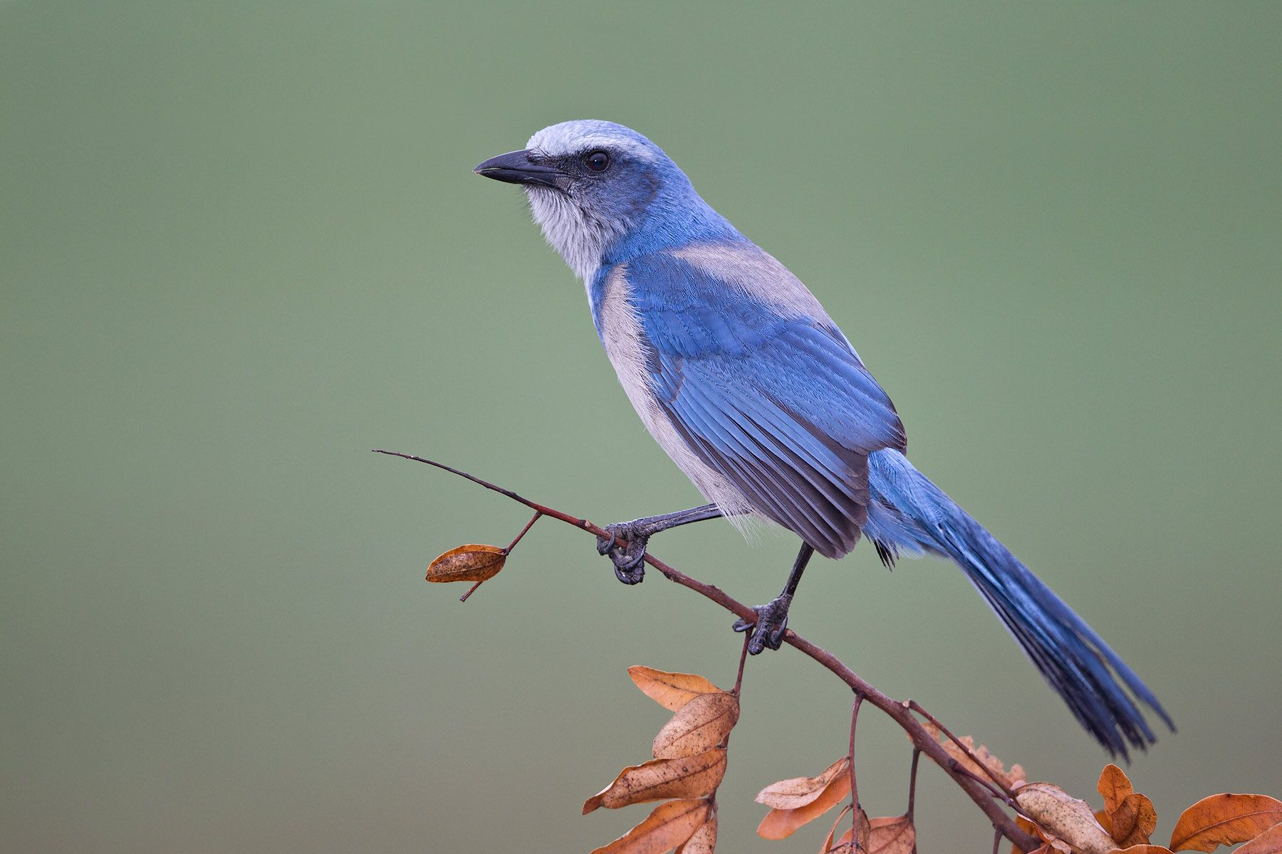 Scrub-Jay-sitting-on-perch-with-braun-leafs_M7E2095-Cape-Coral,-FL.jpg