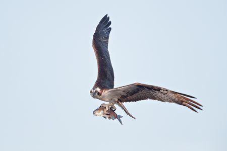 osprey-flying-with-large-fish_a3i0437-lake-blue-cypress-fl-usa.jpg