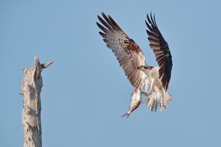 Osprey landing with fish_A3I0625-Lake Blue Cypress, FL, USA.jpg