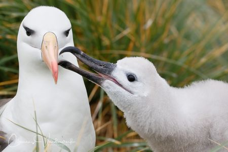 black-browed-albatros-feeding-chick_a3i3101-west-point-island-falklands.jpg