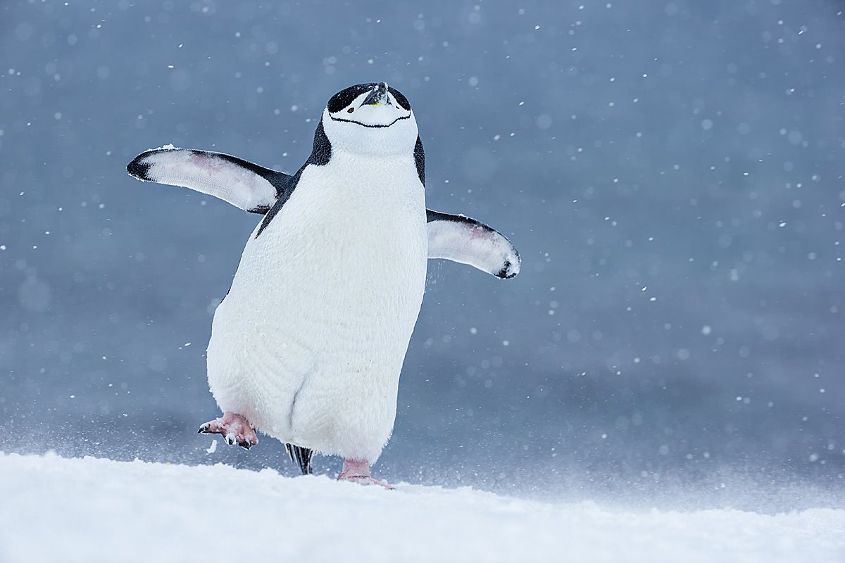 clemensvanderwerf_chinstrap-penguin-happy-feet_polar-passion.jpg