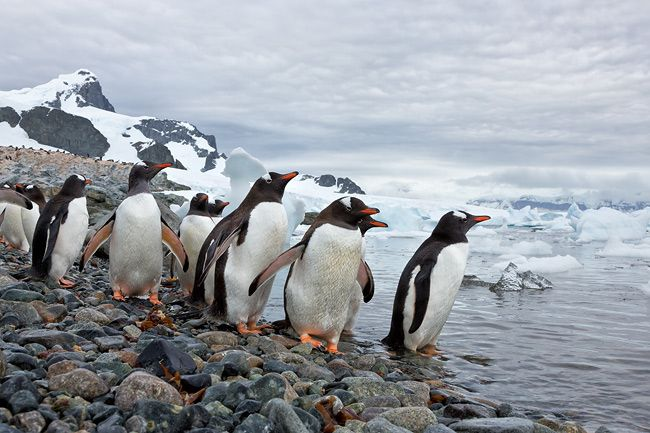 Gentoo-Penguins-debating-to-go-in-the-cold-water_S6A8103-Cuverville-Island-Antarctica.jpg