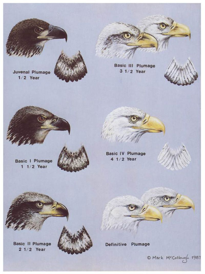 bald-eagle-aging-guide-for-clemens.jpg