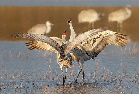 sandhill-cranes-courting-together-ii-1_44a2896-bosque-del-apache-nwr-san-antonio-nm-usa.jpg