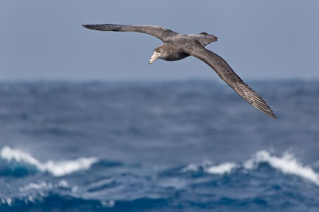 Southern-Giant-Petrel-flying-over-waves_E7T1470-Southern-Ocean.jpg