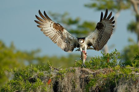osprey-with-fish-landing_e7t0884-lake-blue-cypress-fl-usa.jpg