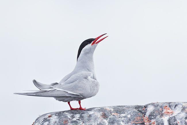 Antarctic-Tern-on-a-rock_E7T1218-Cuverville-Island-Antarctica.jpg