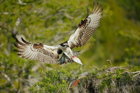 osprey-landing-on-nest-with-fish_e7t0892-lake-blue-cypress-fl-usa.jpg