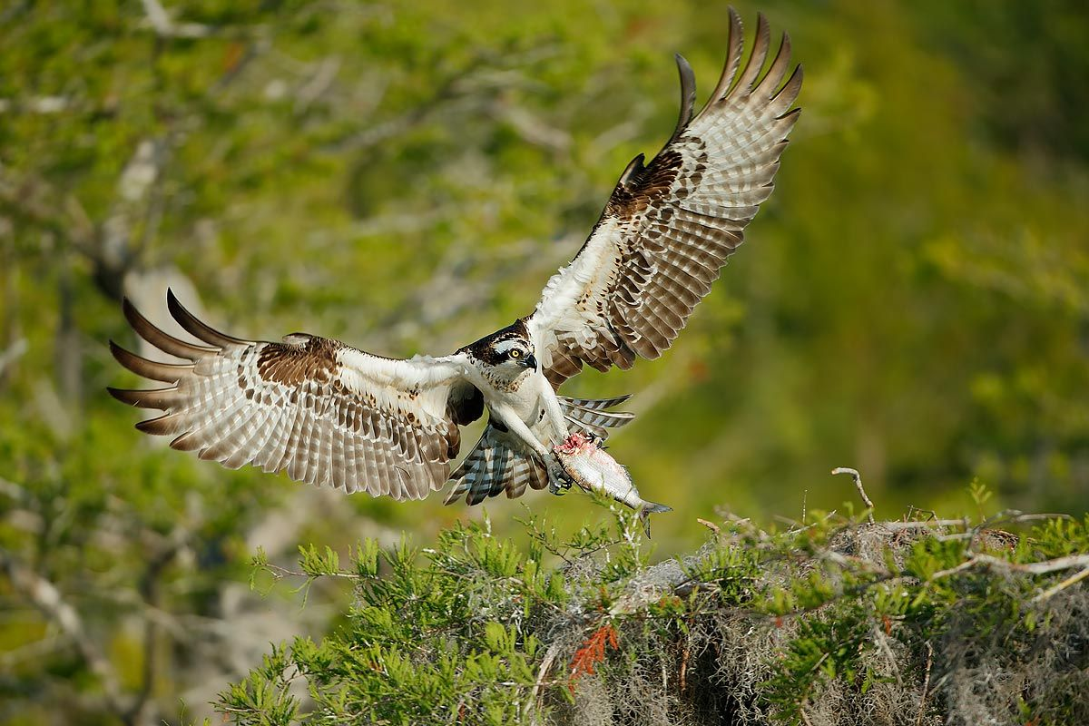 osprey-landing-on-nest-with-fish_e7t0892-lake-blue-cypress-fl-usa.jpg
