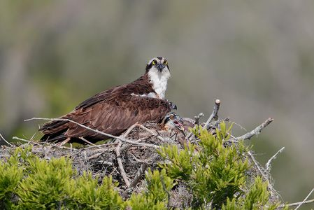 osprey-and-young-chick-on-nest_a3i0961-lake-blue-cypress-fl-usa.jpg