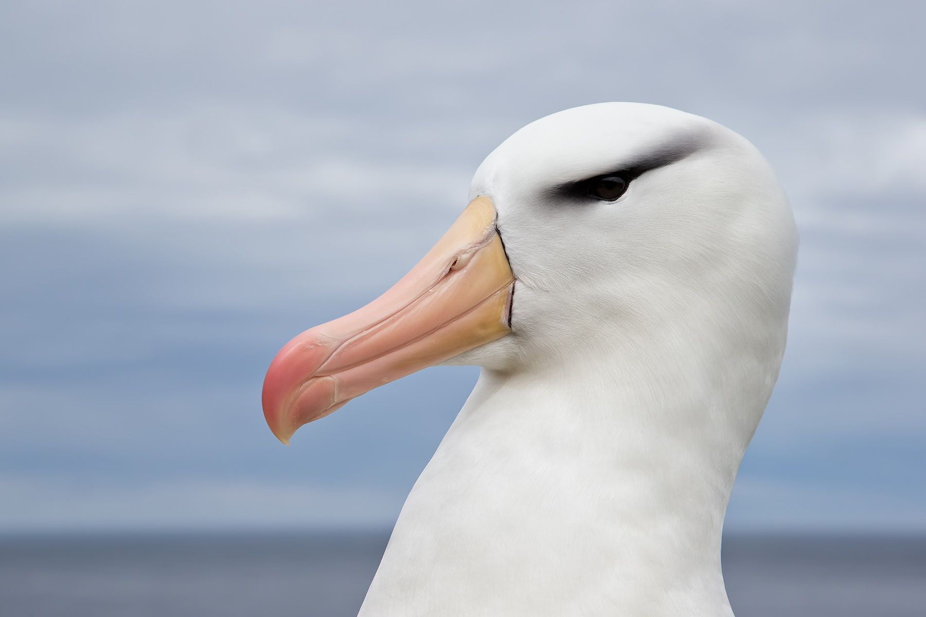 Black-browed-Albatross-head-portrait-against-blue-sky-and-sea_E7T4827-Steeple-Jason,-Falkland-Islands.jpg