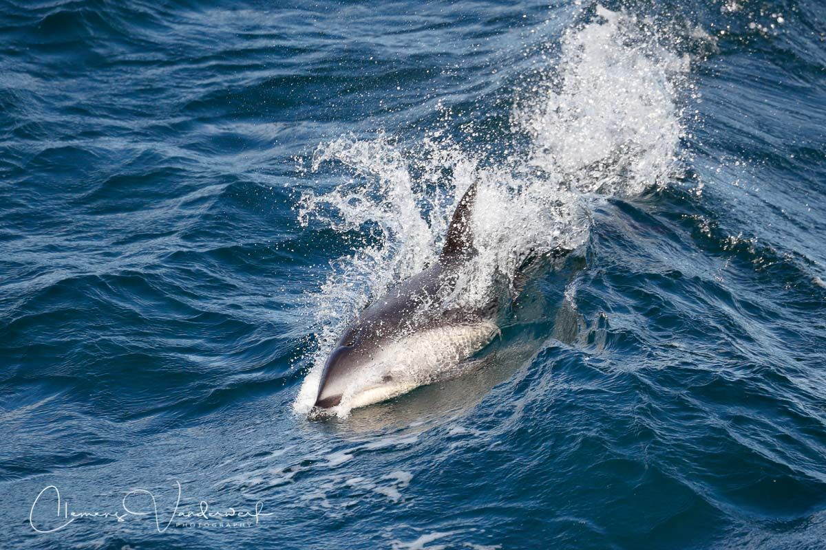 peal-dolphin-breaching_a3i0090-beagle-channel-southern-ocean.jpg
