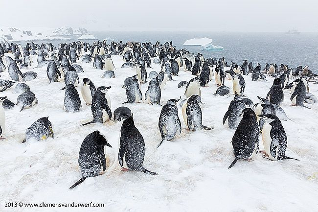 Chinstrap-penguin-colony-in-snow_S6A4505-Half-Moon-Island-South-Shetland-Islands-Antarctica.jpg