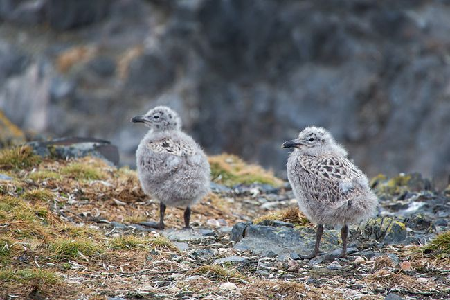 Kelp-Gull-chicks-walking-between-rocks_E7T6566-Hannah-Point-South-Shetland-Islands-Antarctica.jpg