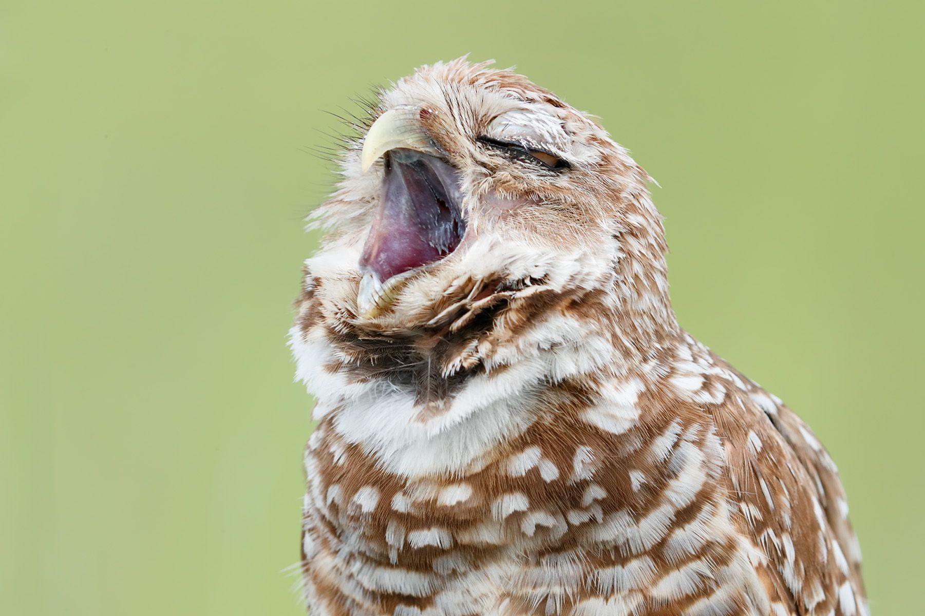 Burrowing owl yawning_A3I9133- Boca Raton Airport, FL, USA.jpg