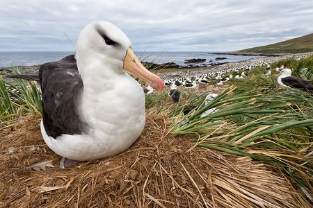 Black-browed-Albatross-on-nest-close-up-wide-angle_E7T4692-Steeple-Jason-Falkland-Islands.jpg