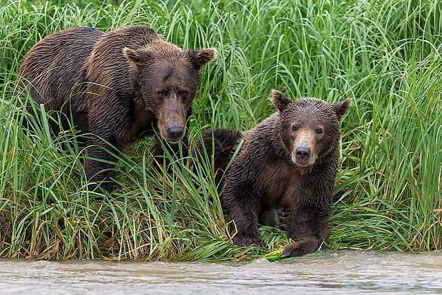 Coastal-brown-bears-looking-for-fish-together_B8R2120-Geographic-Harbour-Katmai-NP-Alaska.jpg