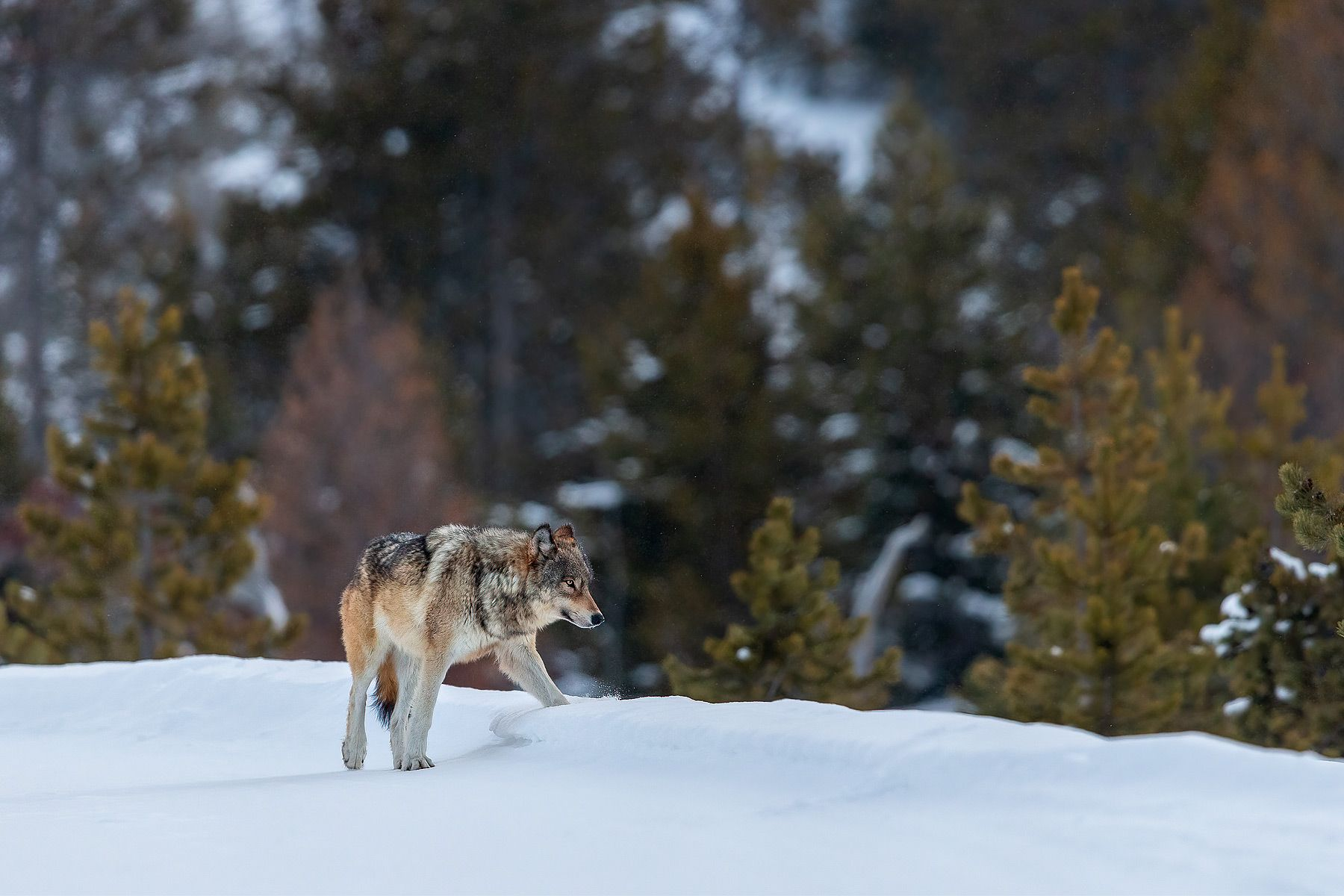 Wolf-crossing-the-road-in-snow_B8R6305-Yellowstone-National-Park,-WY,-USA.jpg
