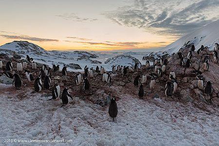 Gentoo-penguin-looking-at-the-sunset_S6A0054-Petermann-Island-Antarctica.jpg