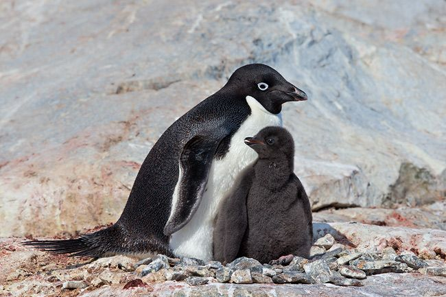 Adelie-penguin-with-chick-standing-up_E7T2272-Petermann-Island-Antarctica.jpg