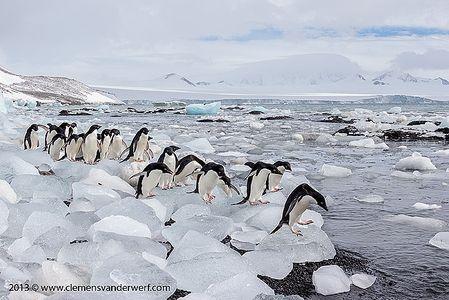Adelie-penguins-lined-up-on-ice-blocks_E7T8159-Brown-Bluff-Antarctica.jpg
