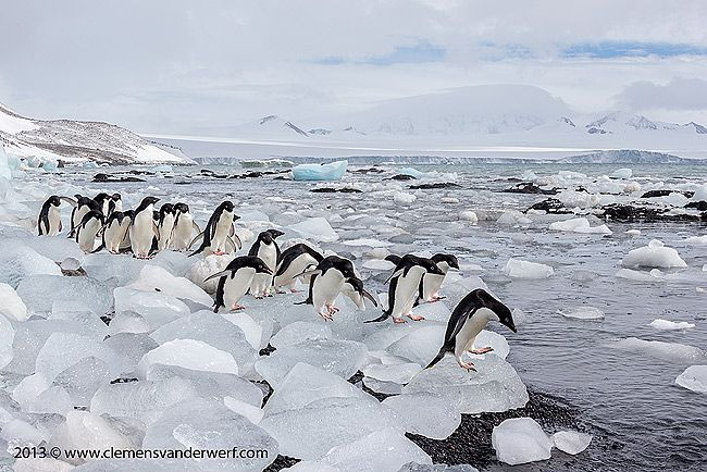 Adelie-penguins-lined-up-on-ice-blocks_E7T8159-Brown-Bluff-Antarctica.jpg