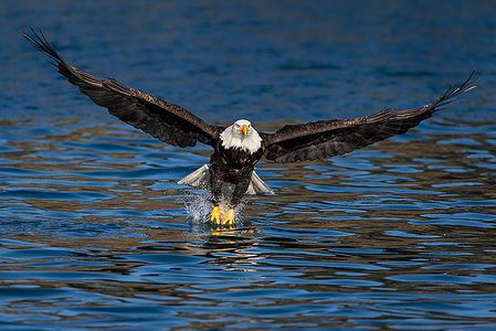 Bald-eagles-lifting-off-from-water-with-prey_E7T9790-Kachemak-Bay-Homer-AK.jpg