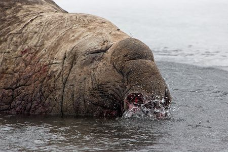 Elephant-Seal-bull-with-bloody-nose-in-stream_E7T3149-Right-Whale-Bay-South-Georgia-Islands.jpg
