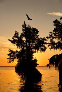 osprey-flying-at-sunrise_s6a6971-lake-blue-cypress-fl-usa.jpg