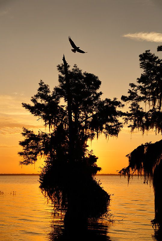 osprey-flying-at-sunrise_s6a6971-lake-blue-cypress-fl-usa.jpg