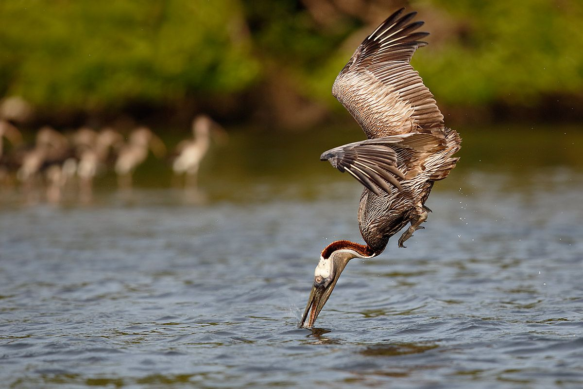 brown-pelican-breaching-the-water_b8r9655-alafia-banks-gibsonton-fl-usa.jpg