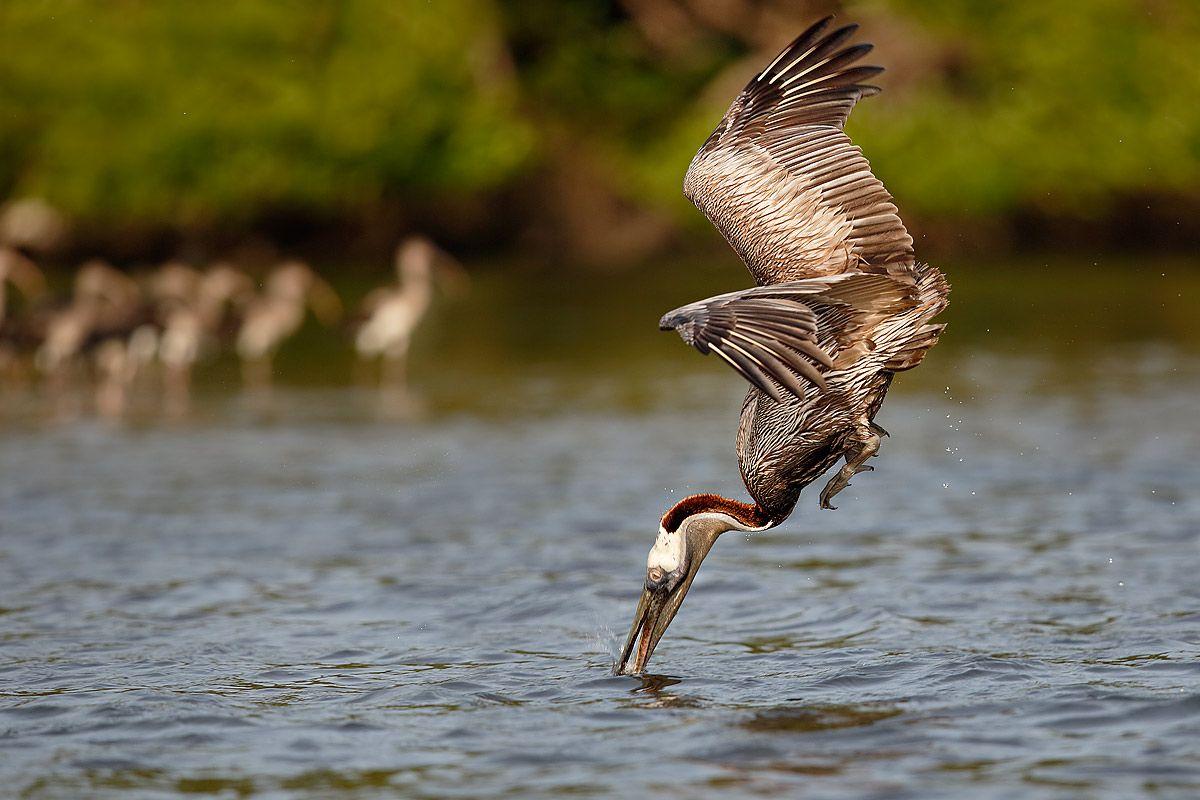 brown-pelican-breaching-the-water_b8r9655-alafia-banks-gibsonton-fl-usa.jpg