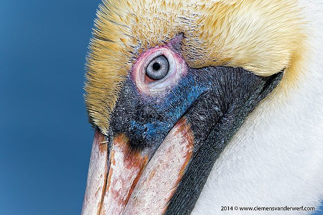 Brown-pelican-eye-close-up-with-colors_Stacked-Converters-Manual-focus_E7T4660-Estero-Lagoon-Fort-Myers-Beach-USA.jpg