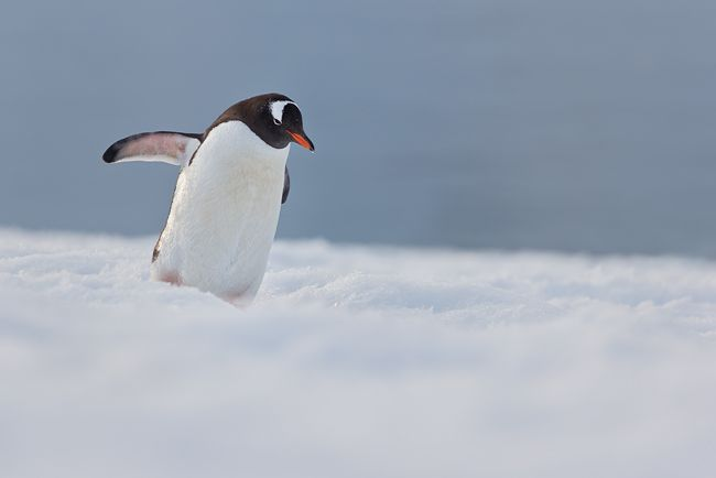 Gentoo-Penguin-walking-on-highway-to-colony_E7T0981-Danco-Island-Antarctica.jpg