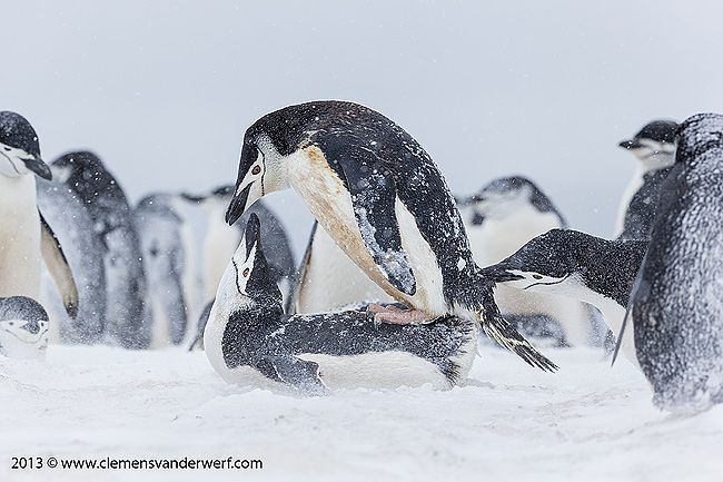 Chinstrap-penguins-copulating-and-being-disturbed_E7T5751-Half-Moon-Island-South-Shetland-Islands-Antarctica.jpg