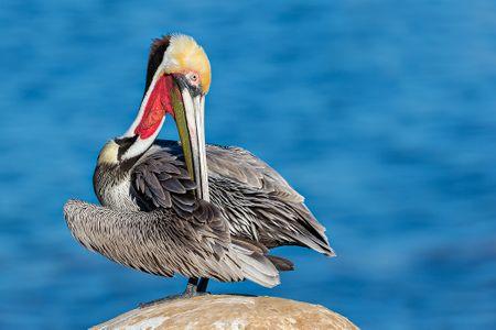 Brown-pelican-preening-on-cliff_E7T0083-La-Jolla-Cliffs-La-Jolla-USA.jpg