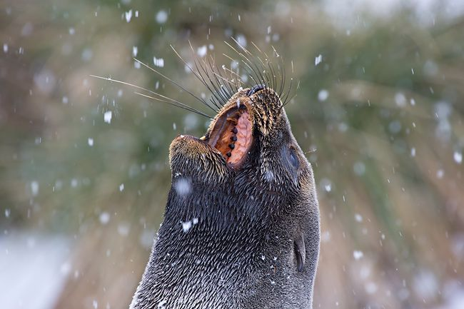Fur-Seal-catching-snow-flakes-portrait_E7T3521-Prion-Island-South-Georgia-Islands.jpg