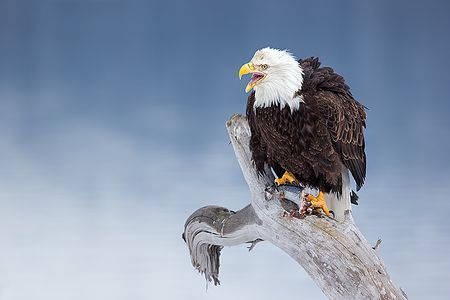 Bald-eagles-with-fish-on-perch-with-blue-bkgd_E7T0913-Kachemak-Bay-Homer-AK.jpg