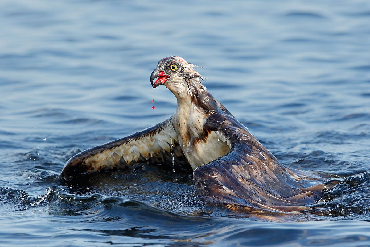 osprey-with-blood-swimming_44a1299-lake-blue-cypress-fl-usa.jpg