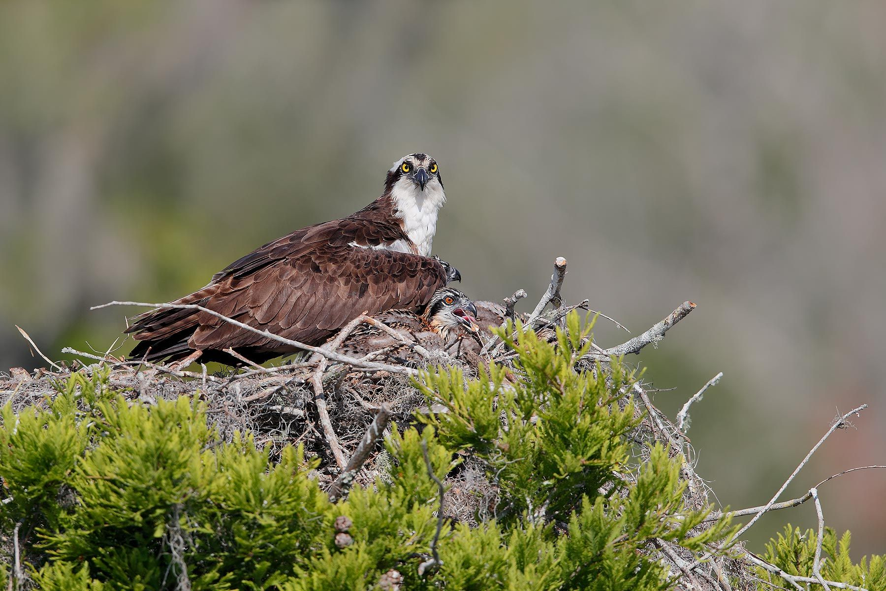 Osprey-and-young-chick-on-nest_A3I0961-Lake-Blue-Cypress,-FL,-USA.jpg