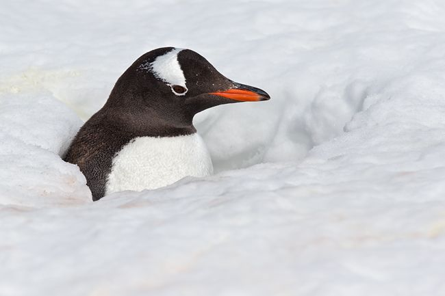 Gentoo-Penguin-hidden-with-nest-in-the-snow_E7T4810-Brown-Bluff-Antarctica.jpg