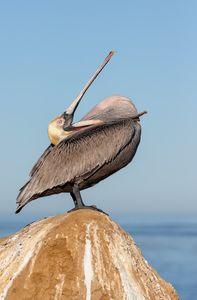 Brown-pelican-pulling-pouch-over-his-neck_E7T9368-La-Jolla-Cliffs-La-Jolla-USA.jpg