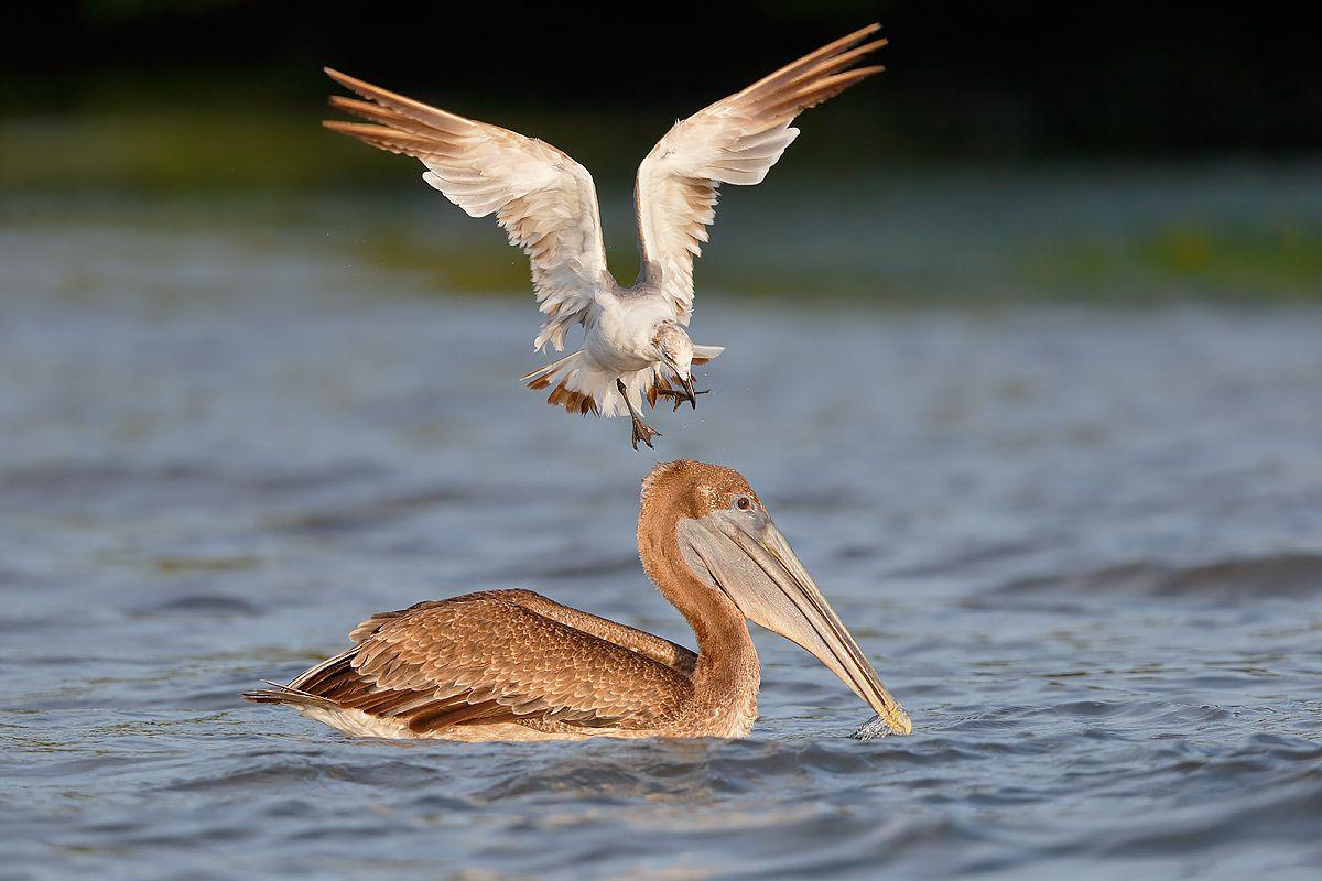 laughing-gull-landing-on-pelican-head_b8r9224-alafia-banks-gibsonton-fl-usa1.jpg