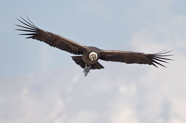 Andean-Condor-in-flight-with-blie-sky_B8R0191.jpg