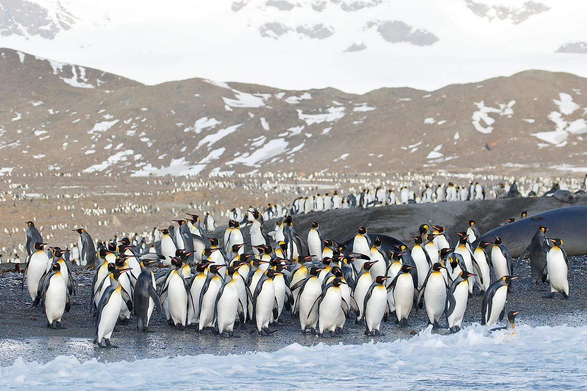 king-penguins-entering-the-water_44a7069-st-andrews-bay-entrance-south-georgia-islands-southern-ocean.jpg