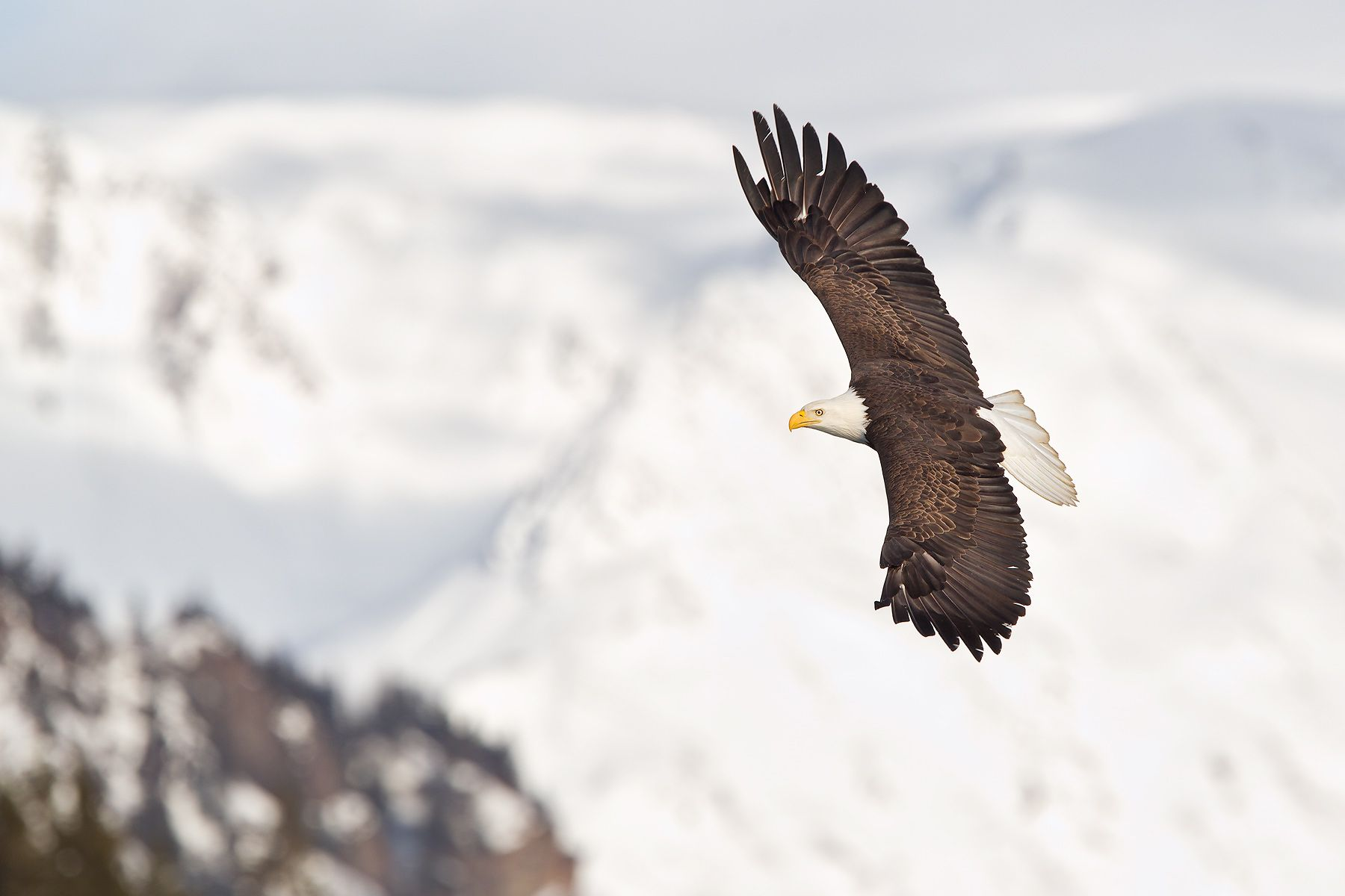 Bald-eagle-banking-against-white-snow-mountains_M7E7278-Kachemak-Bay,-Homer,-AK.jpg