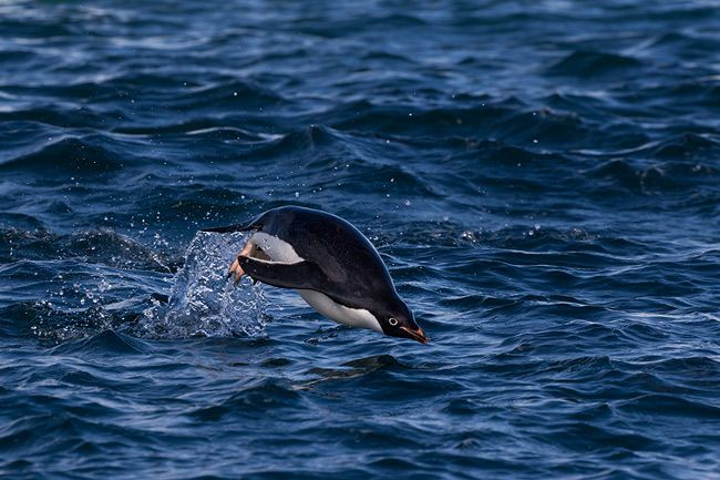 Adelie-Penguin-swimming-and-breaching-out-of-water_E7T5373-Hope-Bay-Antarctica.jpg