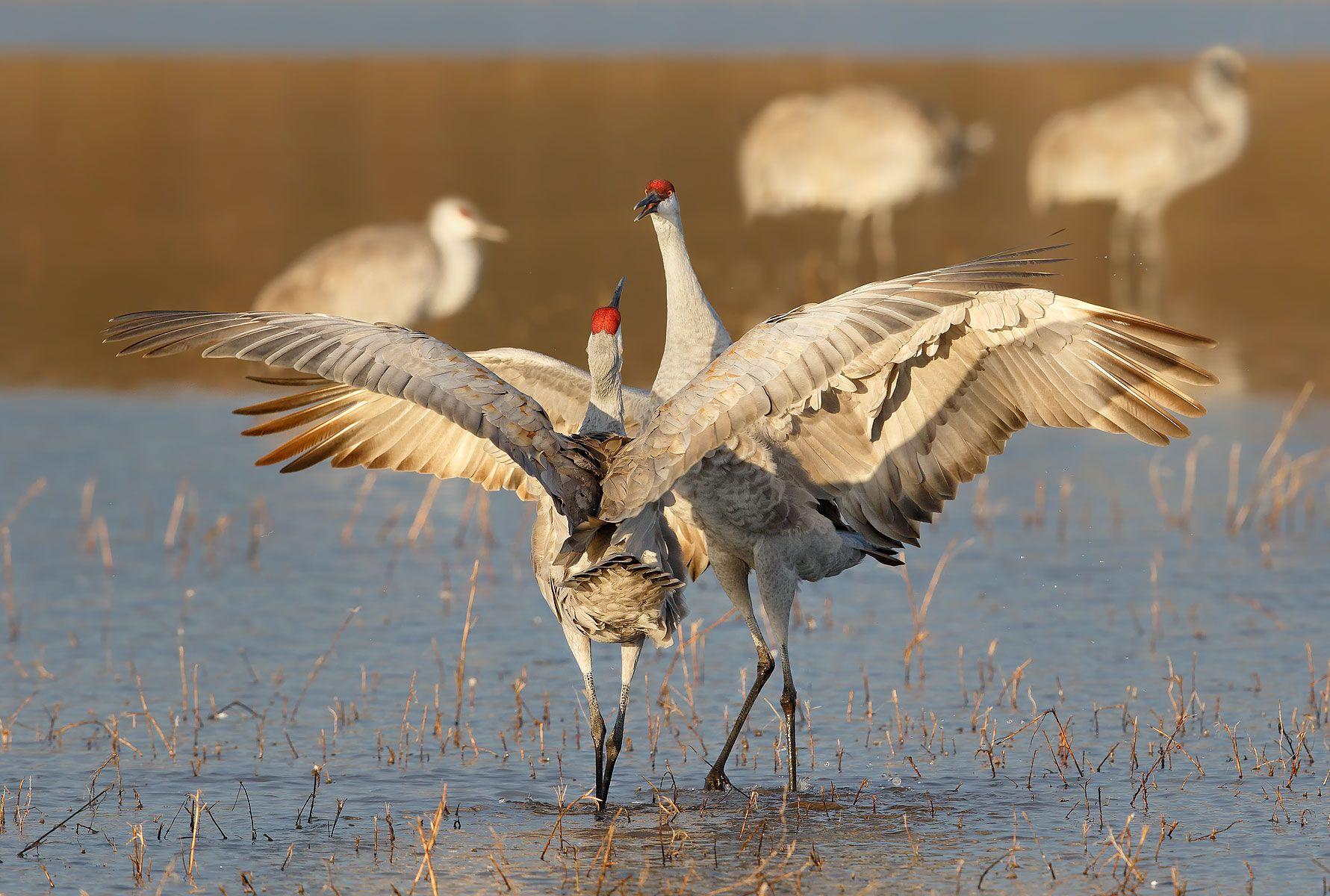 Sandhill-cranes-courting-together-II_44A2896-Bosque-del-Apache-NWR,-San-Antonio,-NM,-USA.jpg