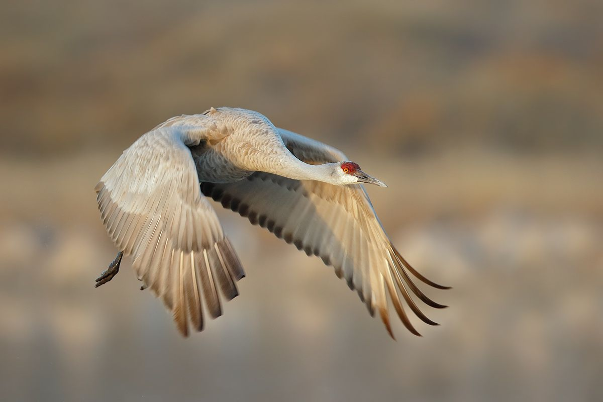 sanhill-crane-leaving-with-wings-forward-1_44a0118-bosque-del-apache-nwr-san-antonio-nm-usa.jpg