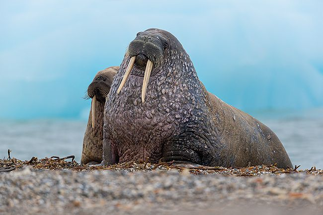 Walrus-on-beach-posing-with-ice-berg-in-the-back_E7T3937-Torellneset-Svalbard-Arctic.jpg